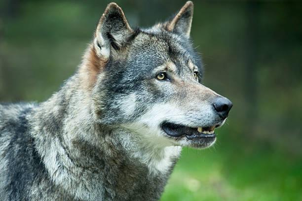 wolf up close - gråvarg bildbanksfoton och bilder