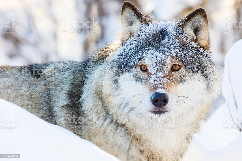 Wolf walking in beautiful winter forest stock photo
