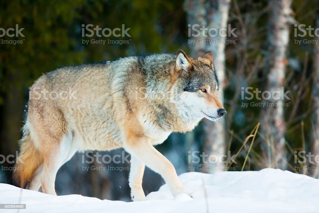 Wolf walking in the cold winter forest stock photo