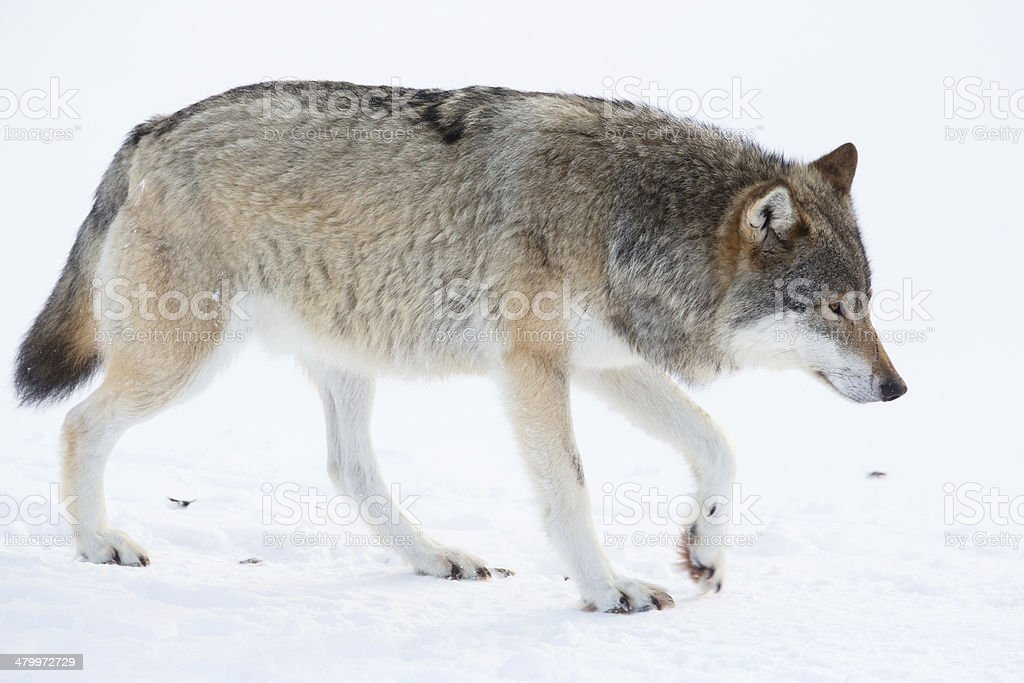 Wolf walking in the snow stock photo