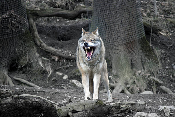 Wolf with open mouth Wolf looking very scary in the woods fang stock pictures, royalty-free photos & images