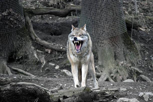 wolf mit offenen mund - knurren stock-fotos und bilder