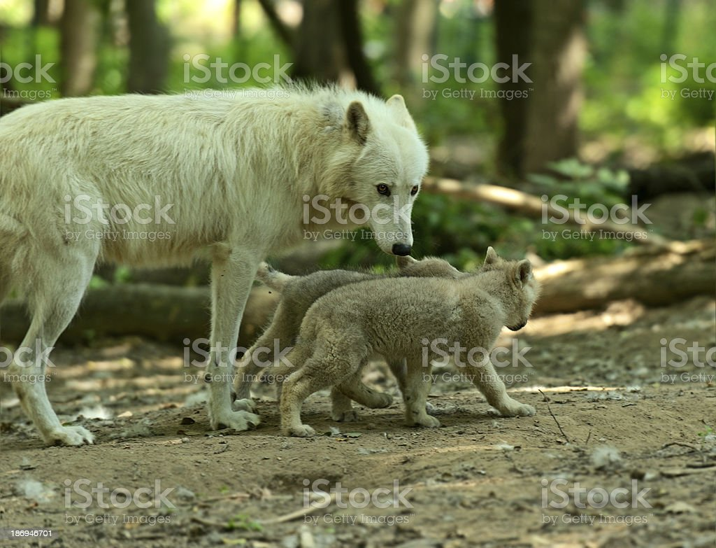Wolf with stock photo