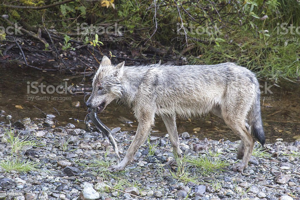 Wolf with Pink Salmon stock photo