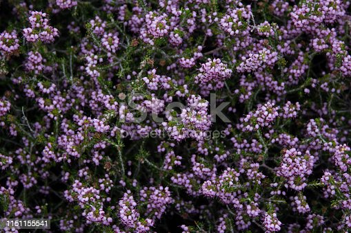 istock wolfberry bushes picture for text 1151155541