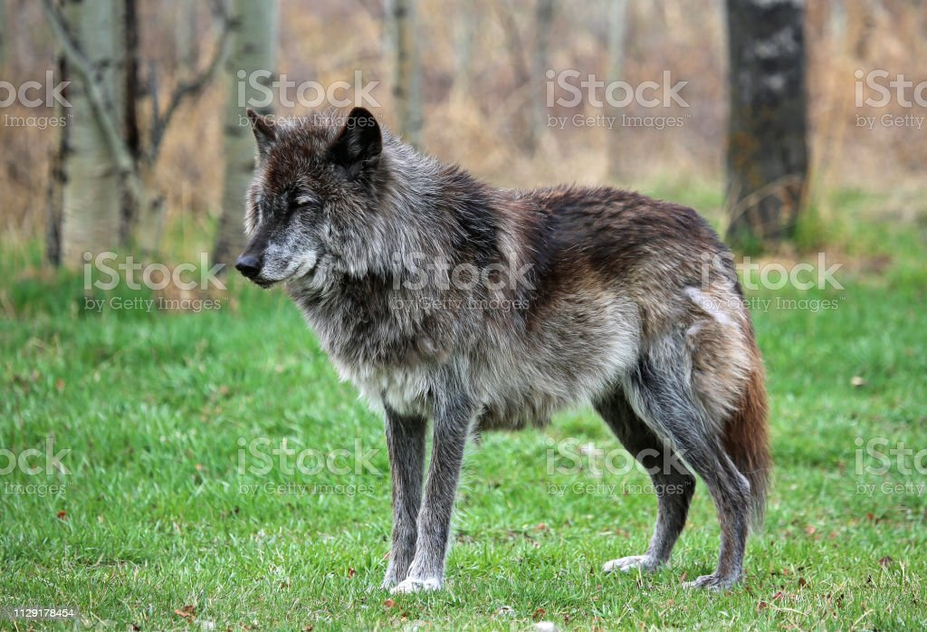 Wolfdog alpha stock photo