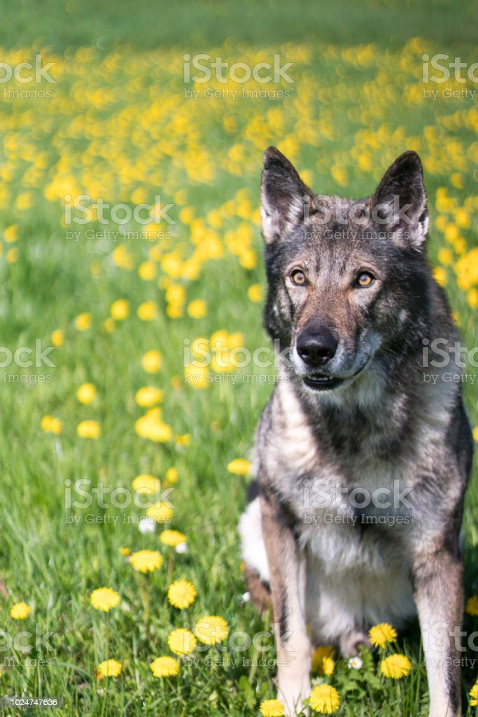 Wolfdog stock photo
