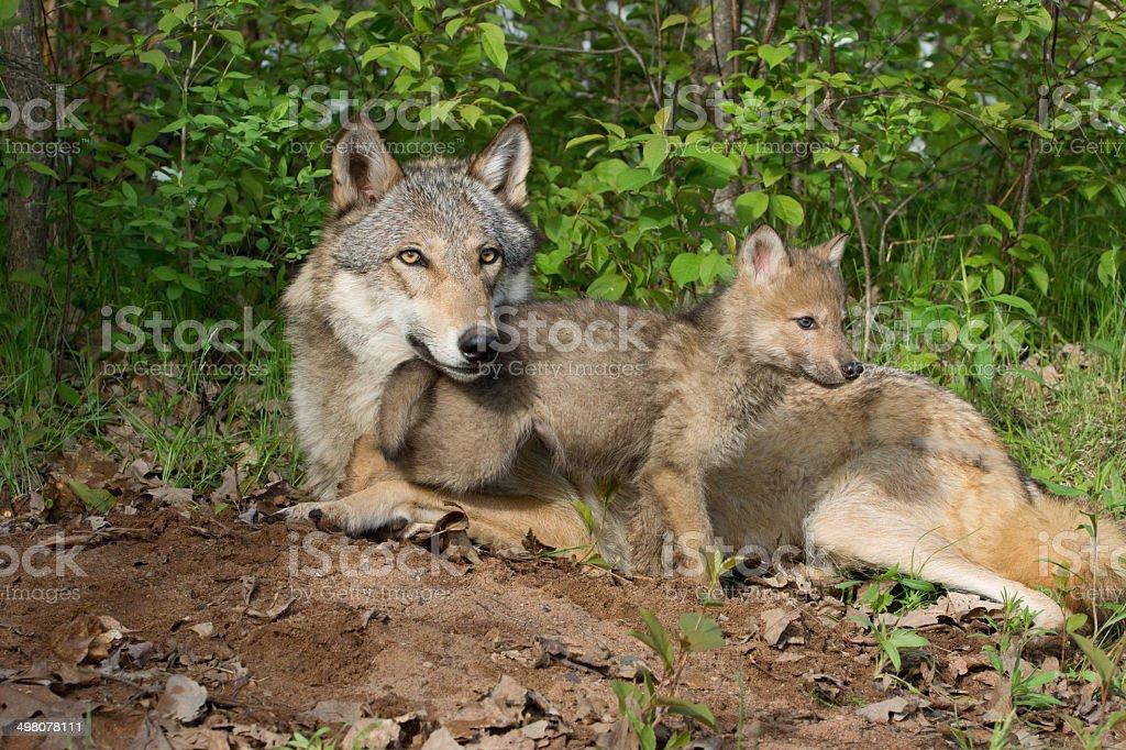 wolf&pup stock photo