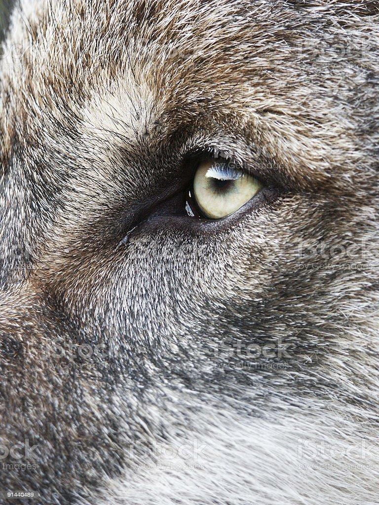 Wolf's eye stock photo