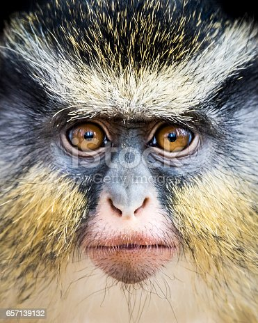 Frontal Portrait of a Wolf's Guenon Monkey