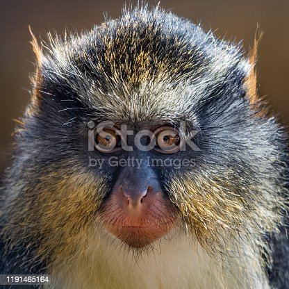 Frontal Closeup Portrait of a Wolf's Guenon Monkey
