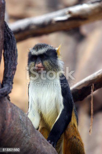27 February 2016   Wolf's Guenon