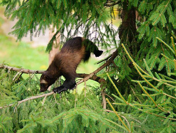 wolverine wspinaczka drzew - rosomak zdjęcia i obrazy z banku zdjęć