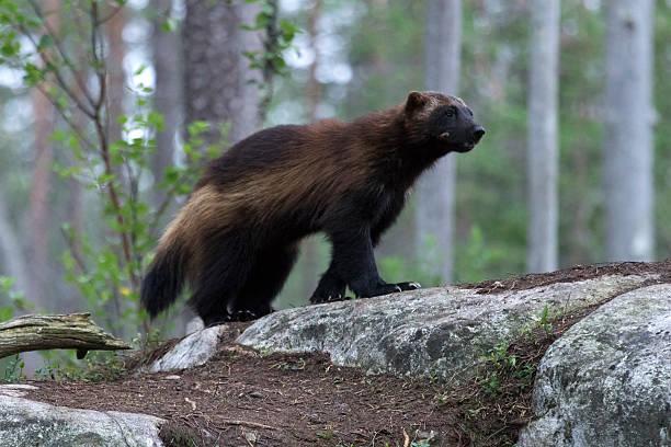 wolverine (gulo gulo) in a forest in northern finland - rosomak zdjęcia i obrazy z banku zdjęć