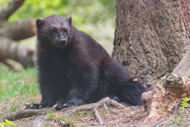 Wolverine in Nordens Ark Sweden stock photo