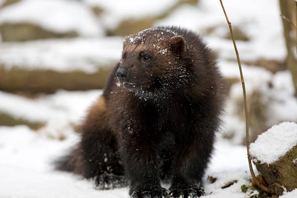 wolverine (g. gulo) w śniegu - rosomak zdjęcia i obrazy z banku zdjęć