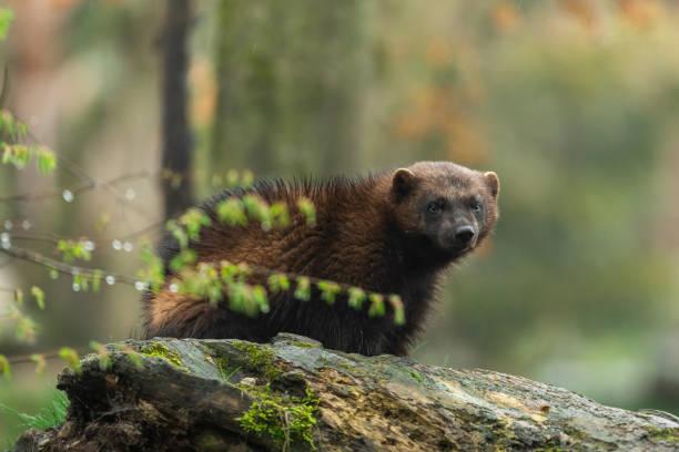 wolverine in the forest - rosomak zdjęcia i obrazy z banku zdjęć