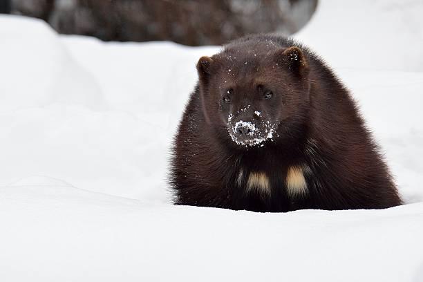 wolverine w śniegu - rosomak zdjęcia i obrazy z banku zdjęć