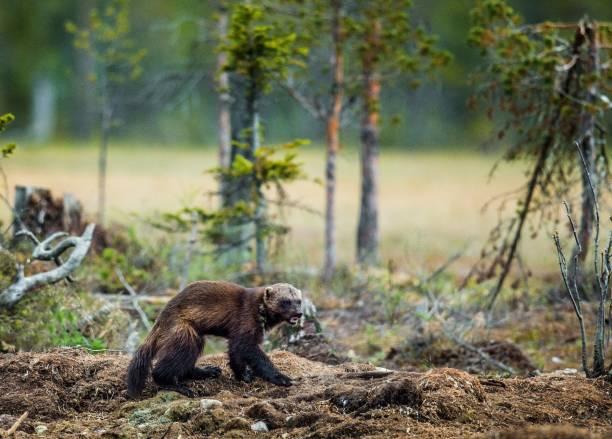 wolverine in wild nature. - rosomak zdjęcia i obrazy z banku zdjęć