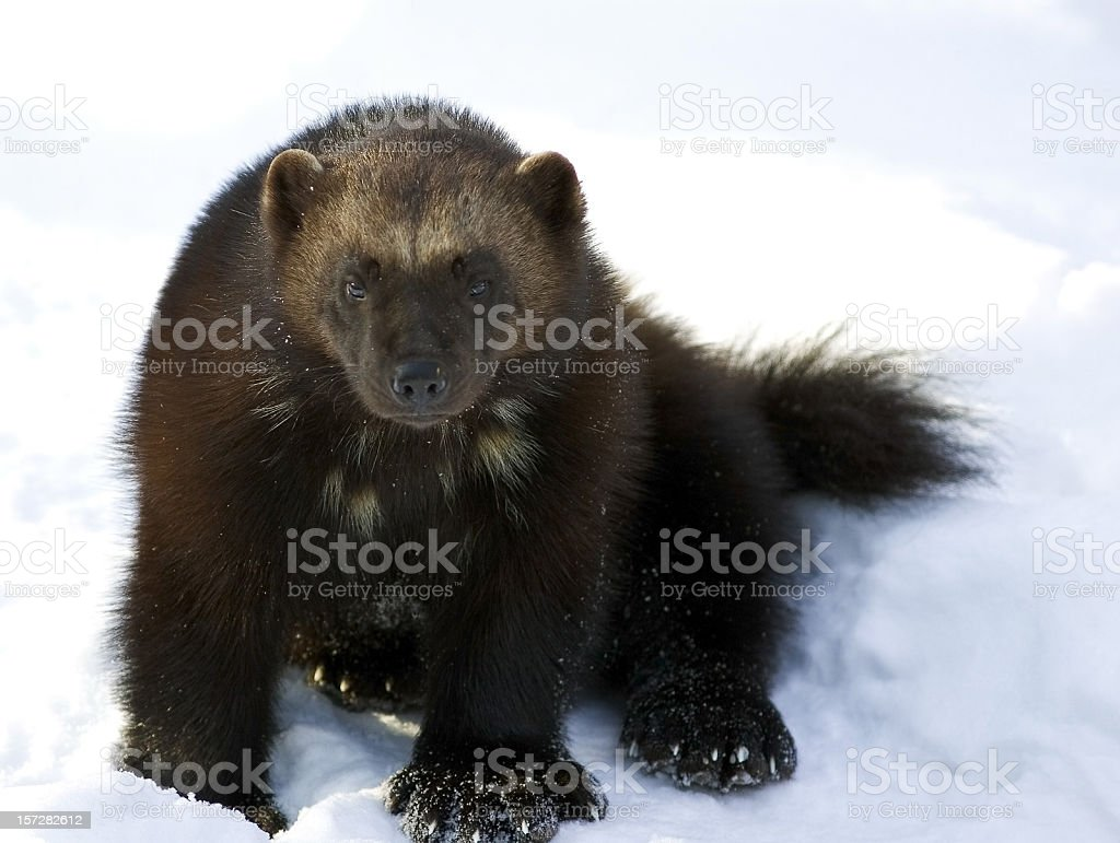 Wolverine (G. gulo) royalty-free stock photo