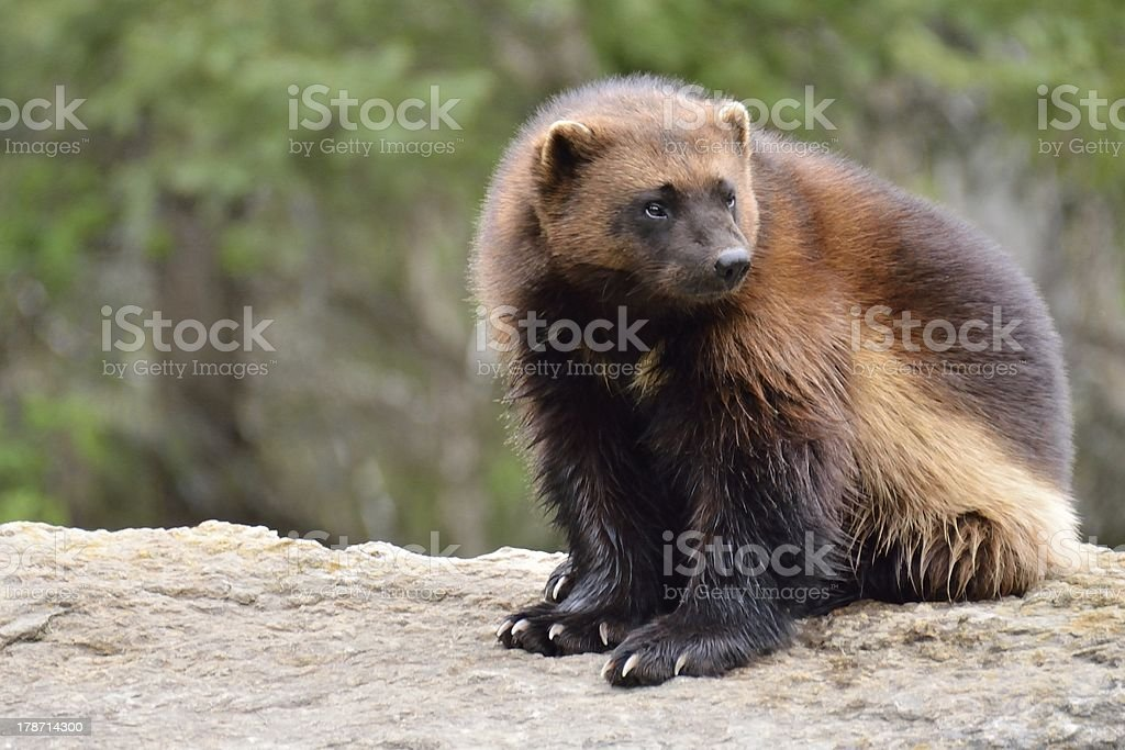 wolverine wolverine sitting on a rock Animal Stock Photo