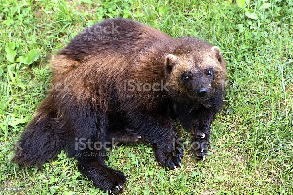 Wolverine royalty-free stock photo