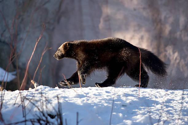 wolverine spacery w śniegu (g. gulo - rosomak zdjęcia i obrazy z banku zdjęć