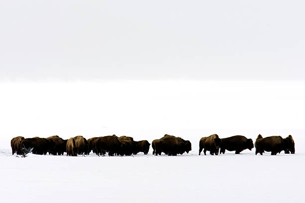 Wolves chasing Bison stock photo