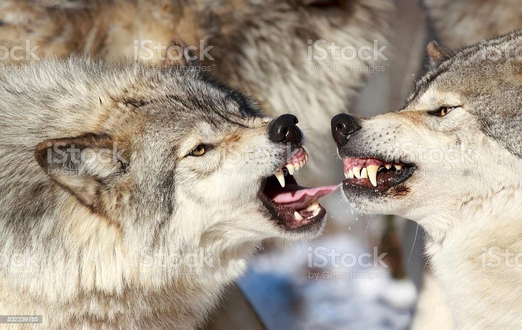 Wolves Fighting Stock Photo Download Image Now Istock