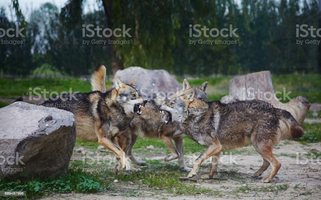 Wolves fighting stock photo