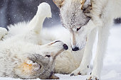 Gray Wolves Greeting in Winter Snow