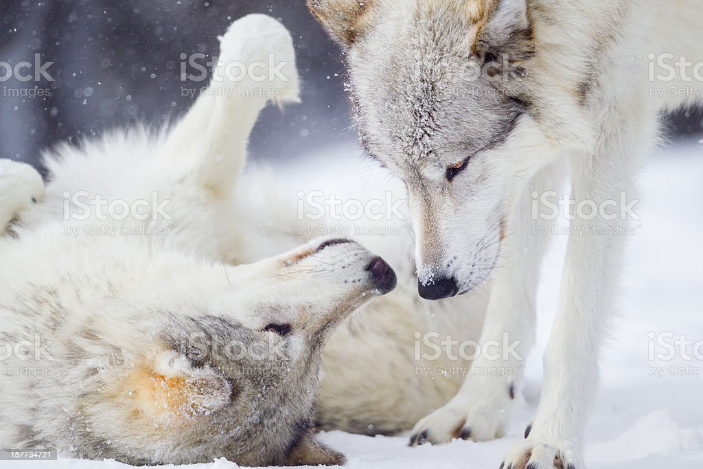 Wolves Greeting stock photo