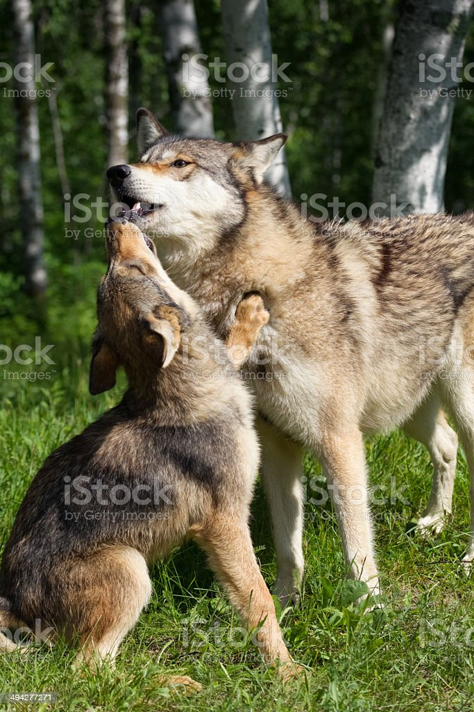 Wolves Greeting royalty-free stock photo