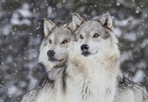 Two wolves gazing into the distance in a snowfall in the Rocky Mountains.