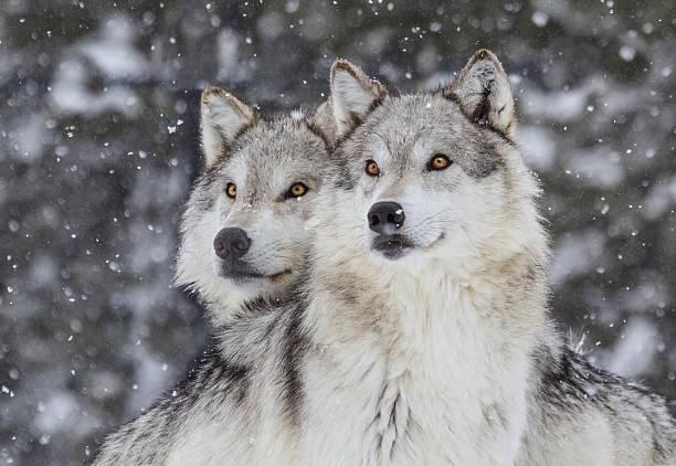 wolves in snow  (canus lupus) - varg bildbanksfoton och bilder