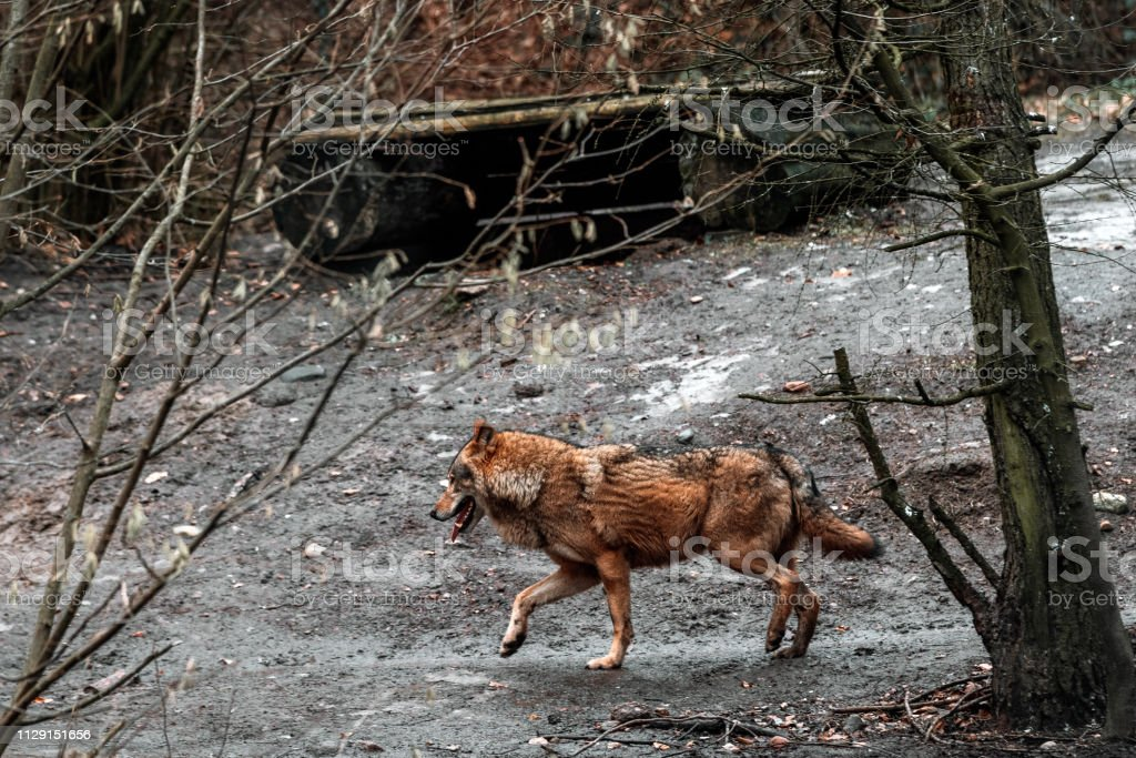 Wolves in the forest – zdjęcie