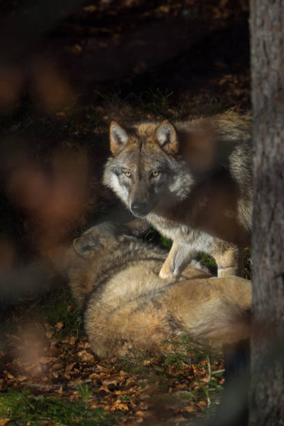 Wolves in the forest stock photo
