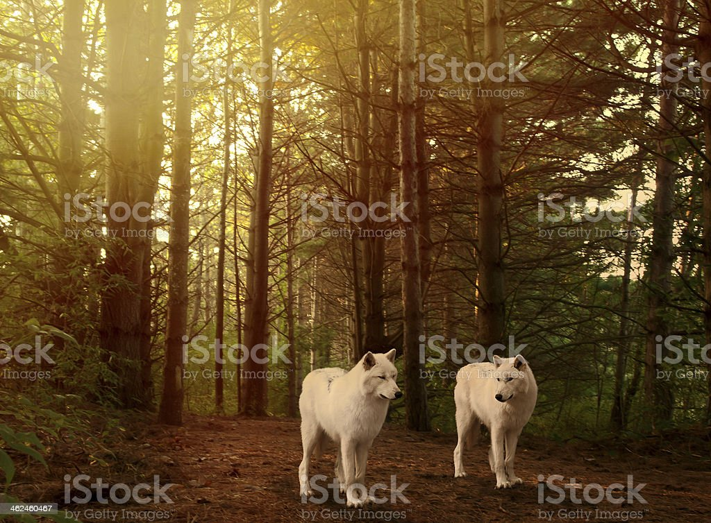 wolves in woods stock photo