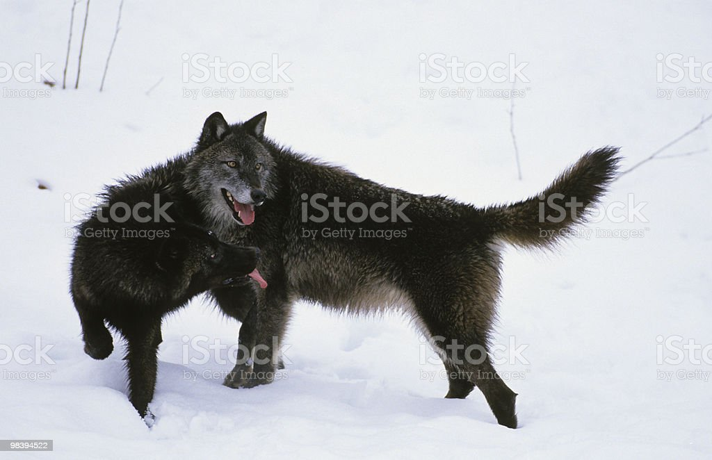 Wolves Interacting in Snow royalty-free stock photo