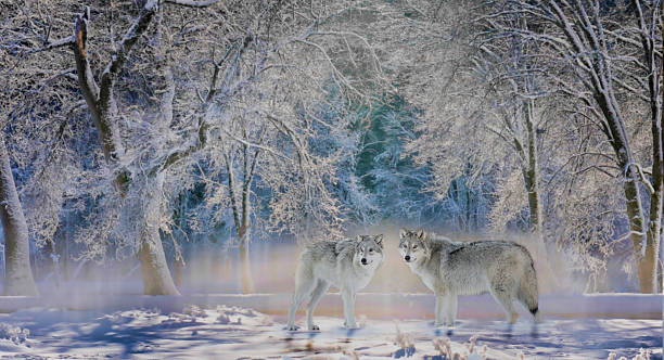 Wolves of Yellowstone stock photo
