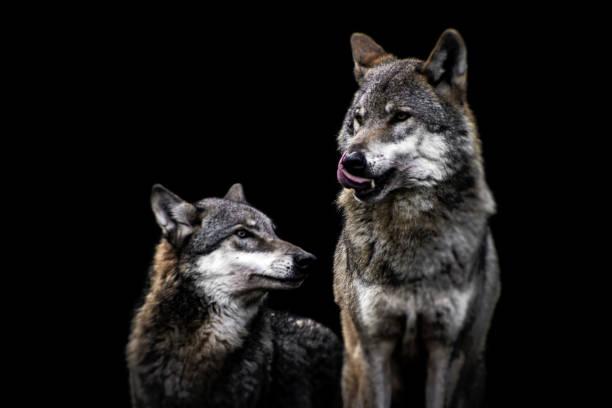 Wölfe – Foto