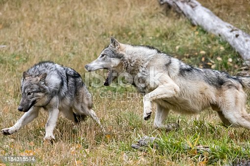 Captive Tundra Wolf doing rough play. A game farm in Montana, with animals in natural settings.