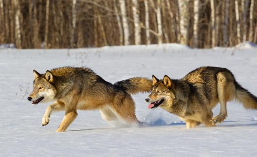 Gray Wolves Running in Snow