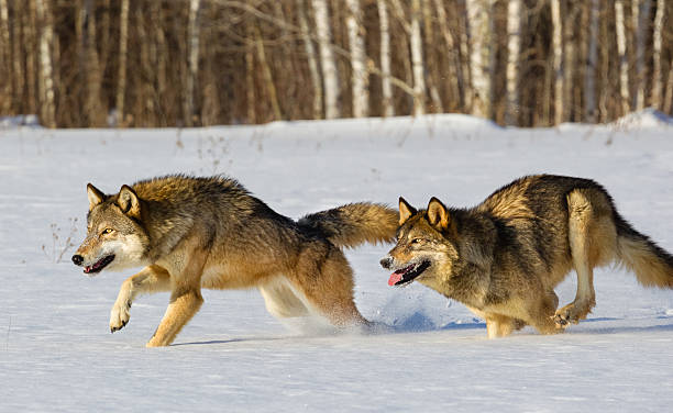 wolves running in winter - gråvarg bildbanksfoton och bilder