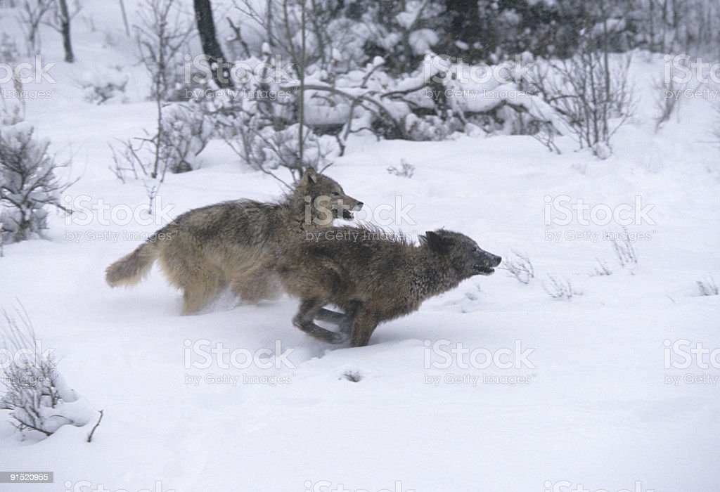 Wolves Running Through Snow royalty-free stock photo