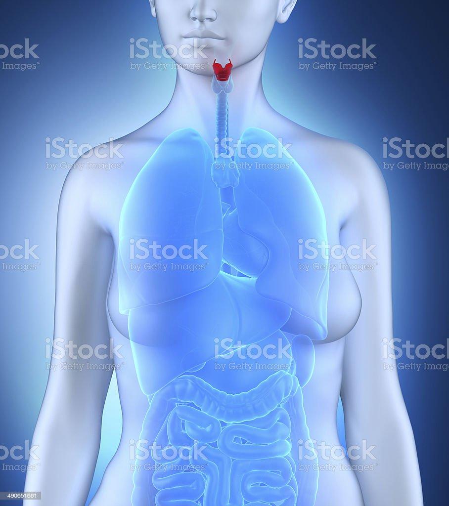 Womaan larynx anatomy royalty-free stock photo