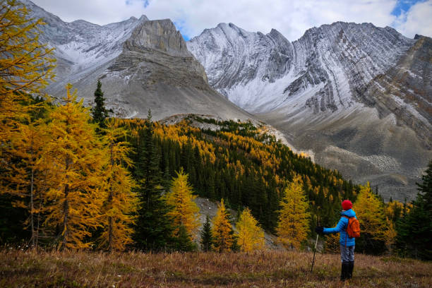 Woman among golden larches  in mountains. Hiking in Canadian Rockies in autumn. Kananaskis. Canmore. Alberta. Canada. kananaskis country stock pictures, royalty-free photos & images