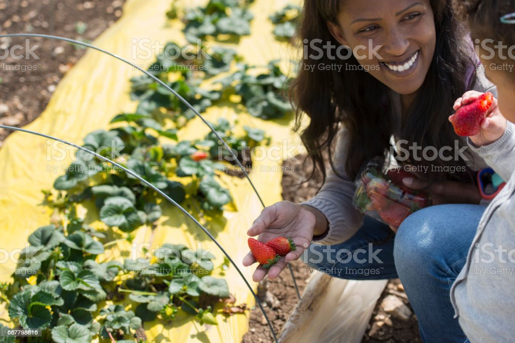 Woman and baby girl having quality time on the strawberry plantation. stock photo