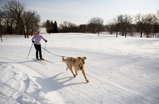 istock Woman and Golden Retriever Skijoring on Groomed Ski Trail. 183239384
