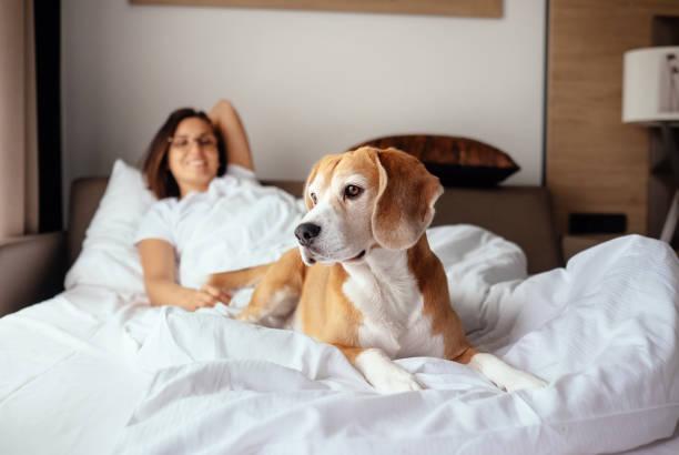Woman and her beagle dog meet morning in bed picture id859900716?b=1&k=6&m=859900716&s=612x612&w=0&h=mkmobbzs8i1ajhbw0zmmnsy2utzpc jpnwntjehjkn8=